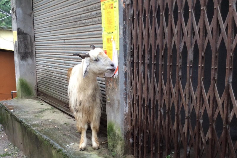 The goats LOVEd eating the adverts on the walls!