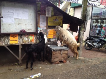 The goats LOVE eating the adverts off the walls!