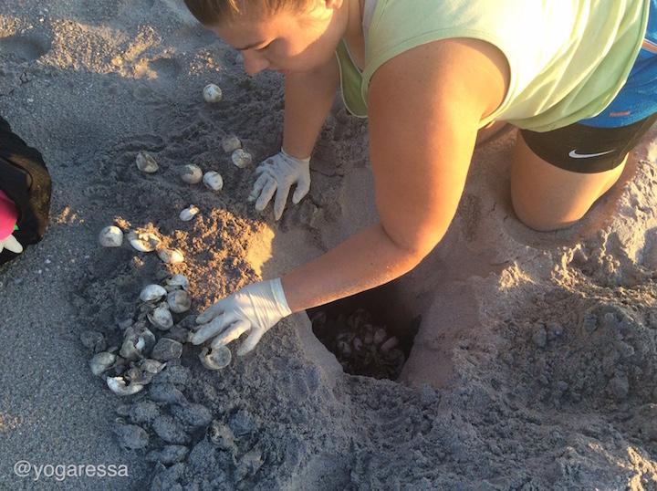 sea-turtle-hatchling-eggs-florida