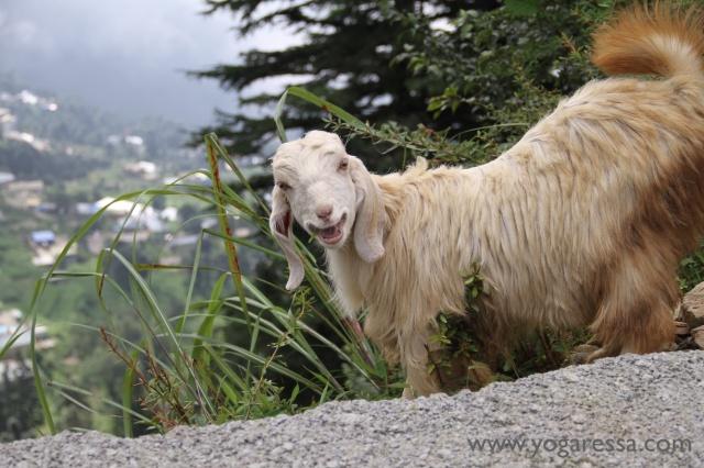 Goat-Upper-Dharamkot