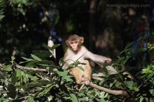 McLeod-Ganj-monkeys