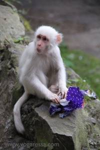 McLeod-Ganj-white-monkey