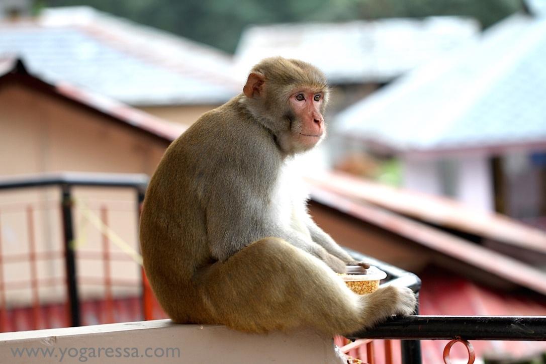 McLeod-Ganj-monkey-visit