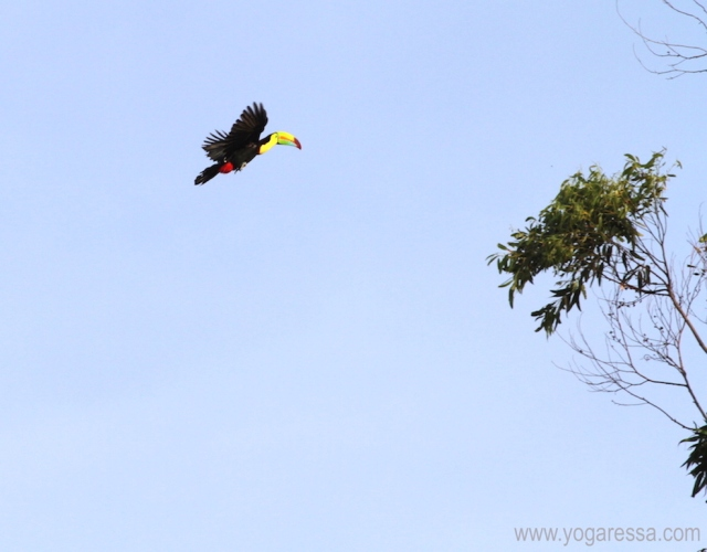 toucan in flight