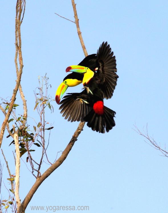 toucans-costa-rica