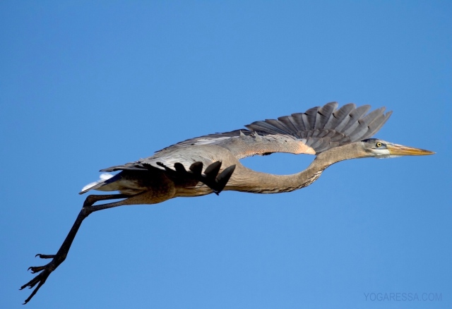 Loxahatchee-heron-yogaressa