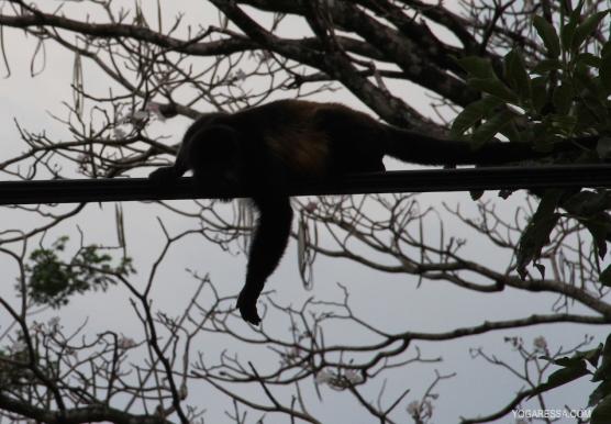 IMG_0604-yogaressa-costa-rica-howler-monkey