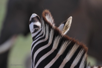 img_9893-zebra-yogaressa-south-africa-yoga-retreat